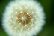 Daliya Photography - White dandelion