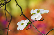 Dogwood Photos - White Dogwood Blossoms  by Oscar Gutierrez