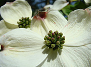 Flora Art Prints - White Dogwood Flowers art prints Spring Print by Baslee Troutman Floral Art Prints