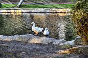 Horizontal - White Ducks by Chuck Staley