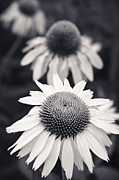 Wildflower Photos Posters - White Echinacea Flower or Coneflower Poster by Adam Romanowicz