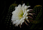 White Cactus Flower Framed Prints - White Echinopsis Bloom Framed Print by Saija  Lehtonen