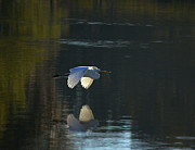 Amazing Jules - White Egret