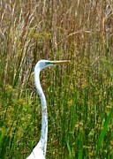 Maria Urso - Artist And Photographer Acrylic Prints - White Egret Closeup Acrylic Print by Maria Urso - Artist and Photographer