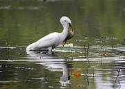 Diana Haronis - White Egret Fishing