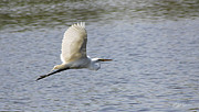 Diana Haronis Posters - White Egret Flying Poster by Diana Haronis