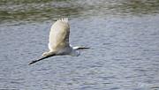 Diana Haronis - White Egret Flying