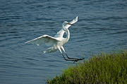 Ocean Birds Prints - White Egret Landing 2 Print by Ernie Echols