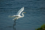 Flying Birds Prints - White Egret Landing Print by Ernie Echols