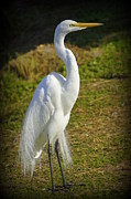 Laurie Perry - White Egret