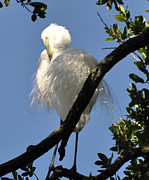 Lydia Holly - White Egret