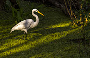 White Birds Photos - White Egret by Marvin Spates