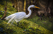 White Birds Photos - White Egret on the Hunt by Marvin Spates