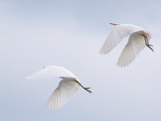 Rory Ivey - White Egrets in Synchrony