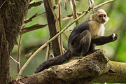 Natural Focal Point Photography Metal Prints - White-Faced Capuchin Monkey in Costa Rica 2 Metal Print by Natural Focal Point Photography