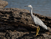 Heron Photos - White Faced Heron by Dave Sumner