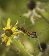 Dragon Flies Posters - White-Faced Meadowhawks Mating Poster by Thomas Young