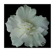 Reverence Framed Prints - White Flower by Saribelle Rodriguez Framed Print by Saribelle Rodriguez