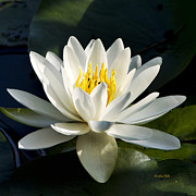 Macro Digital Art - White Flower Water Lily by Christina Rollo