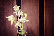 Kitchen Art Photographs Prints - White Flowers against Dark Wooden Fence Print by Natalie Kinnear
