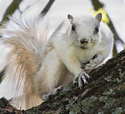 Natural Habitat Posters - White Fox Squirrel Poster by East Coast Barrier Islands Betsy A Cutler