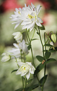 Teresa Mucha Art - White Frilly Columbines by Teresa Mucha