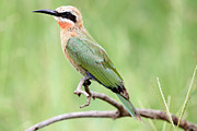 Beak Pyrography Metal Prints - White Fronted Bee Eater Metal Print by Gerald Beacham