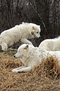Zoo Photo Originals - White Furs by Munir Alawi