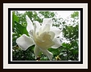 Gardenias Photos - White Gardenia Bloom by Jerome Cotone