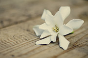 Gardenias Posters - White Gardenia Poster by Heather Applegate