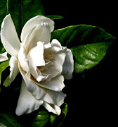 Artists4god Prints - White Gardenia Print by Rose Santuci-Sofranko