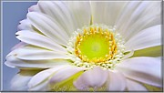 P Greeting Cards Greeting Cards Digital Art Prints - White Gerber Daisy Macro Print by Danielle  Parent