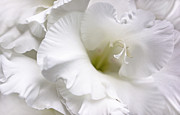 Gladiola Posters - White Gladiola Flower Brilliance Poster by Jennie Marie Schell