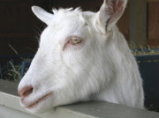 Portrait Reliefs Metal Prints - White Goat Metal Print by Ann Horn