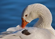 White Goose Portrait Print by Joy Bradley