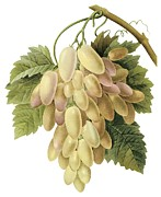 White Grapes Drawings Framed Prints - White Grapes Framed Print by Spencer McKain