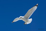 Gull Against Sky Prints - White Gull Against Blue Sky Print by Gerald Marella