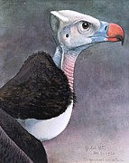 REPRODUCTION - White headed vulture
