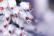 Tiny Leaves Prints - White Heather - Water Droplet Print by May L
