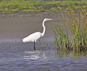 Fauna Originals - White Heron Posing by Judith Russell-Tooth