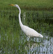 Egret Metal Prints - White Heron Walking Metal Print by Patricia Twardzik