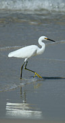 Panama City Beach Posters - White heron walking Poster by Rebecca LaChance