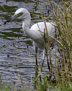 Marsh Photos - White Heron with Fish in Mouth by Dale Powell