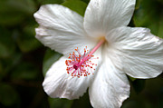 Pictures Of Spring Posters - White Hibiscus Poster by Brian Harig