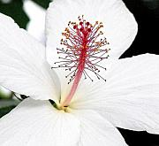 Mary Deal Prints - White Hibiscus Print by Mary Deal