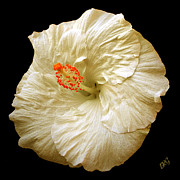 Flowers Of Paradise - White Hibiscus Portrait by Ben and Raisa Gertsberg