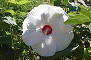Theresa Willingham - White HIbiscus