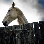 Board Fence Prints - White horse Print by Bernard Jaubert