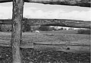 Split Rail Fence Photos - White Horse Grazing in Black and White by Robert Estes