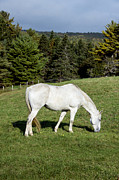 Animal Farms Prints - White Horse Print by John Greim